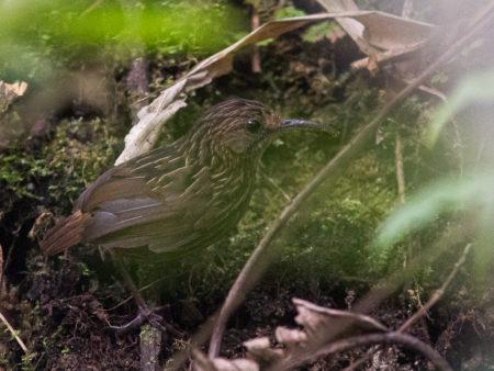 Long-billed Wren-babbler (Rimator malacoptilus)