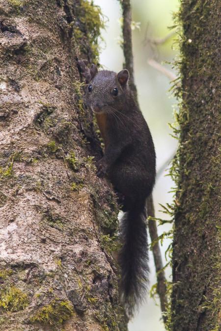 Orange-bellied Himalayan Squirrel (Dremomys lokriah)