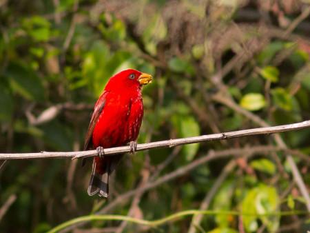 Scarlet Finch (Carpodacus sipahi)
