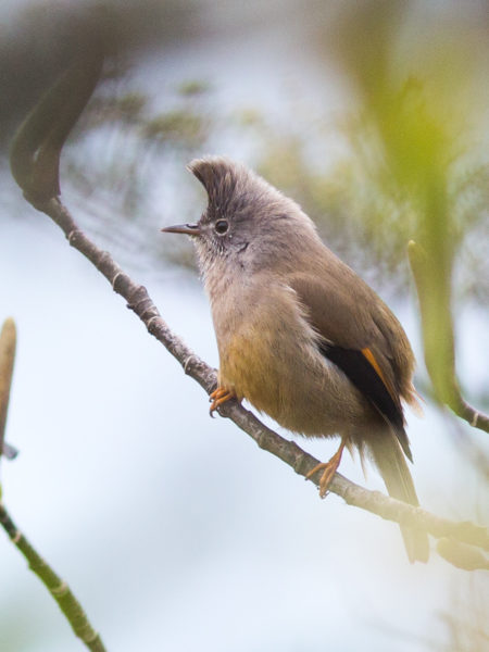 Stripe-throated Yuhina (Yuhina gularis)