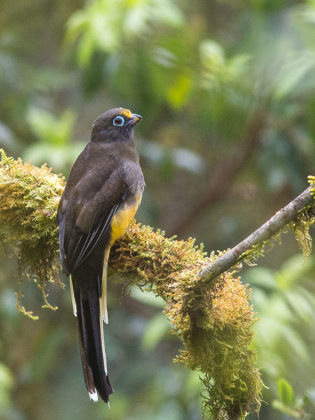 Female Ward's Trogon (Harpactes wardi)