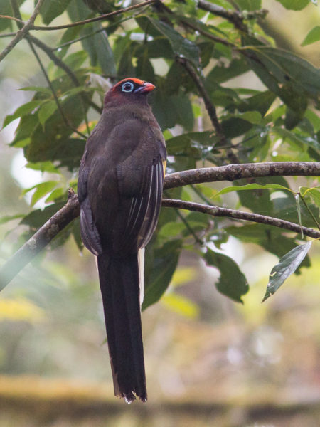Immature Male Ward's Trogon (Harpactes wardi)