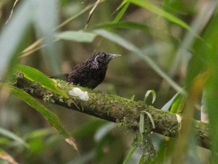 Himalayan Wedge-billed Babbler (Sphenocichla humei)