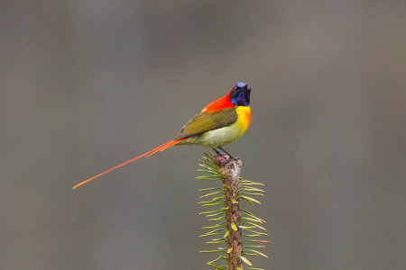 Fire-tailed Sunbird (Aethopyga ignicauda)