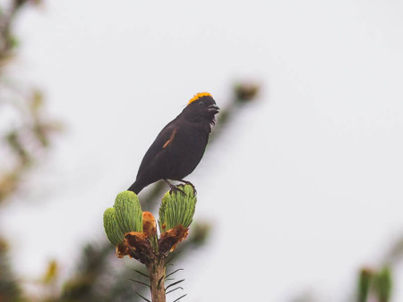 Golden-naped Finch (Pyrrhoplectes epauletta)