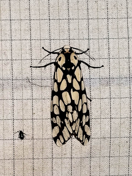 Eaglenest Moth