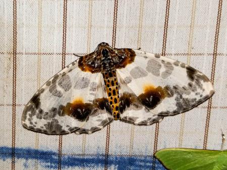 Eaglenest Moth