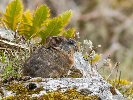 Undescribed Pika (Ochotona sp nov)