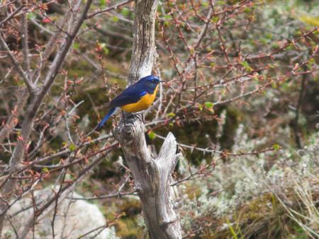 Rufous-breasted Bush-robin (Tarsiger hyperythrus)