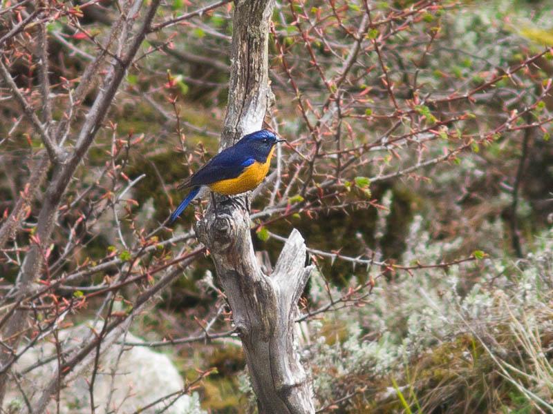 Rufous-breasted Bush-robin
