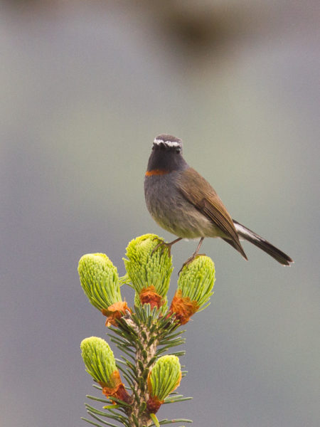 Rufous-gorgeted Flycatcher (Ficedula strophiata)