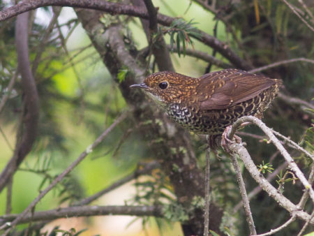 Scaly-breasted Wren-babbler (Pnoepyga albiventer)