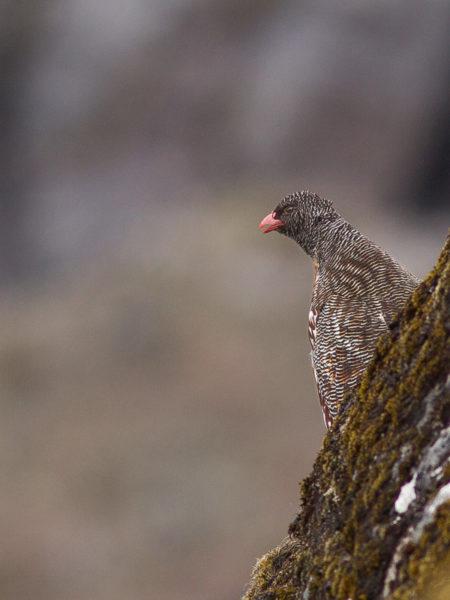 Snow Partridge (Lerwa lerwa)