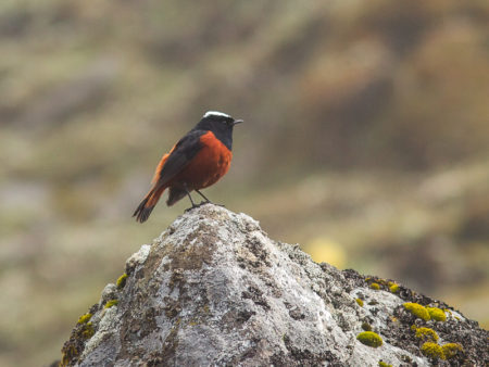 White-capped Water-redstart (Chaimarrornis leucocephalus)