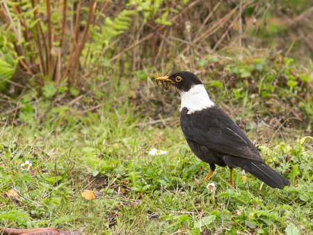 White-collared Blackbird (Turdus albocinctus)
