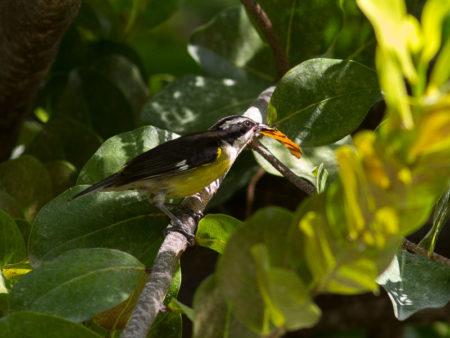 Bananaquit (Coereba flaveola)