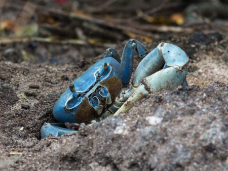 Blue Land Crab (Cardisoma guanhumi)