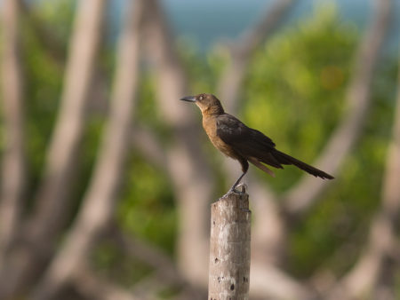 Female Great-tailed Grackle (Quiscalus mexicanus)