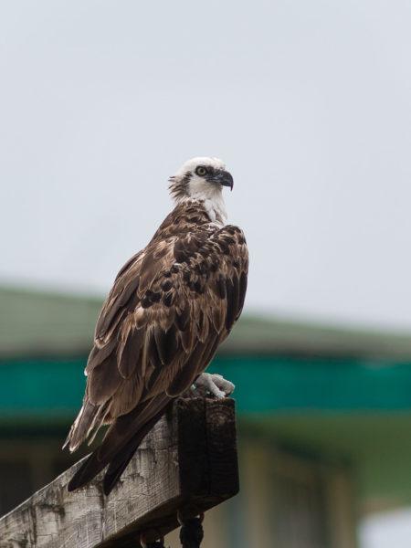 Ridgeway's Osprey (Pandion haliaetus ridgwayi)