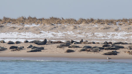 Gray Seal Colony (Halichoerus grypus)
