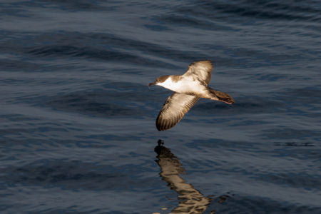 Great Shearwater (Ardenna gravis)