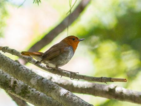 Japanese Robin (Erithacus akahige)