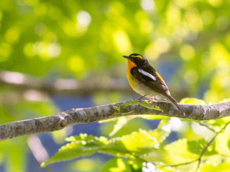 Narcissus Flycatcher (Ficedula narcissina)