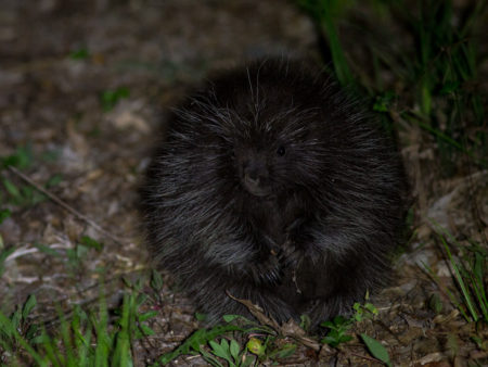Young North American Porcupine (Erethizon dorsatum)