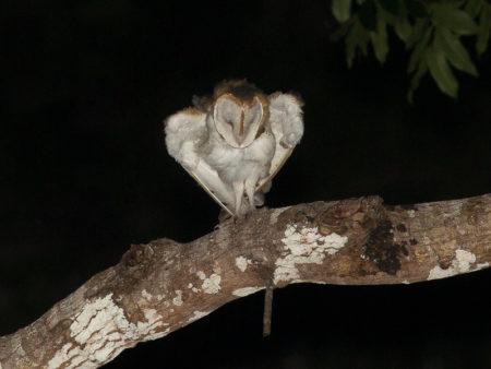 Barn Owl Stretching (Tyto alba)