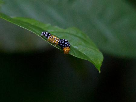 Caterpillar Chan Chich