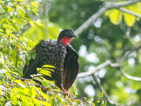 Crested Guan (Penelope purpurascens)