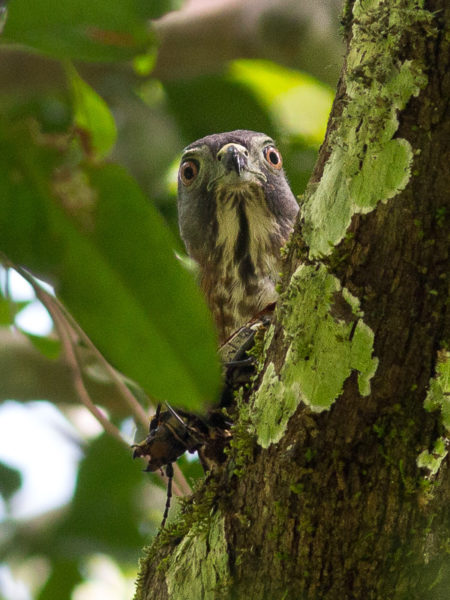 Double-toothed Kite (Harpagus bidentatus)