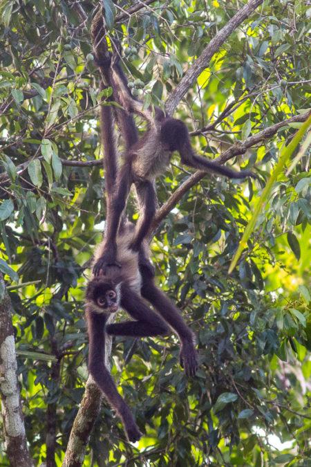 Geoffroy's Spider Monkey (Ateles geoffroyi yucatanensis) Balancing