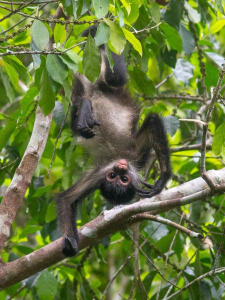 Geoffroy's Spider Monkey (Ateles geoffroyi yucatanensis) Dangling