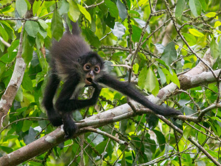 Geoffroy's Spider Monkey (Ateles geoffroyi yucatanensis) Thoughtful