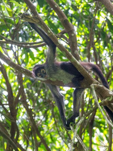 Geoffroy's Spider Monkey (Ateles geoffroyi yucatanensis)
