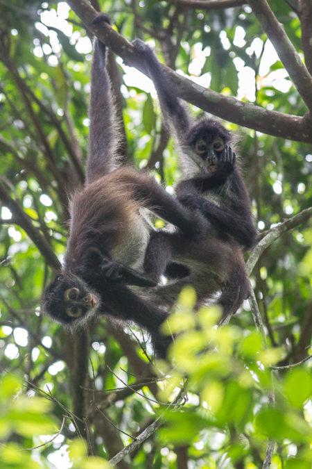 Geoffroy's Spider Monkey (Ateles geoffroyi yucatanensis) Playing
