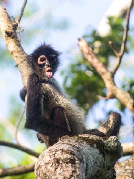 Geoffroy's Spider Monkey (Ateles geoffroyi yucatanensis) Tongue
