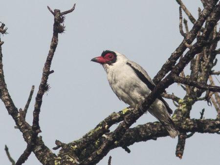 Masked Tityra (Tityra semifasciata)