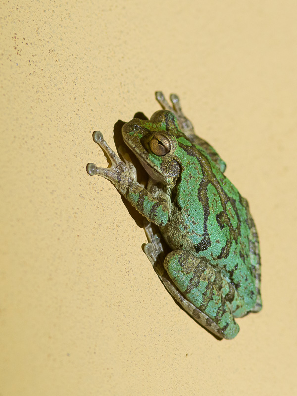 Mexican Treefrog