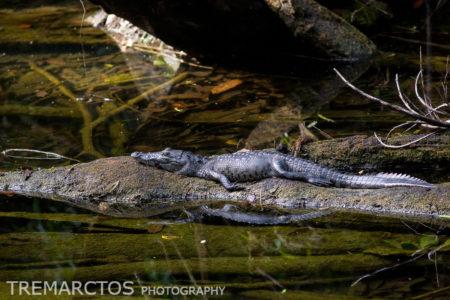 Morelet's Crocodile (Crocodylus moreletii)
