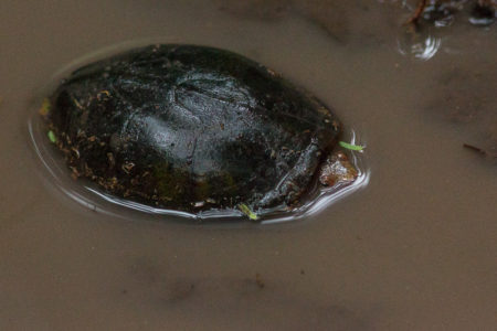 Tabasco Mud Turtle (Kinosternon acutum)