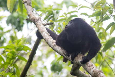 Yucatan Black Howler (Alouatta pigra)