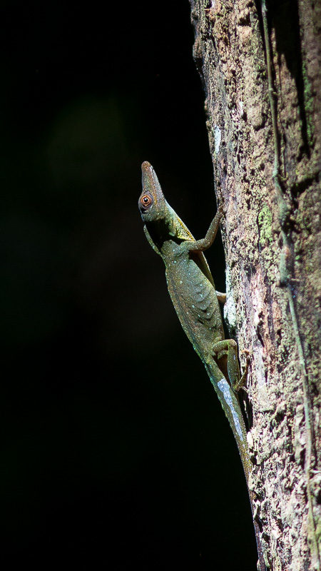 Amazon Green Anole (Anolis punctatus)