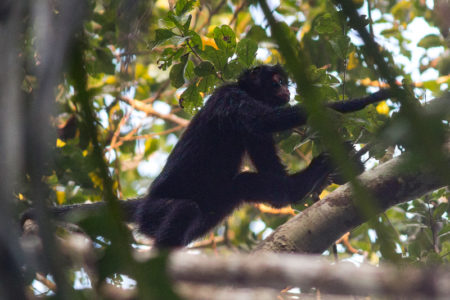Peruvian Spider Monkey (Ateles chamek)