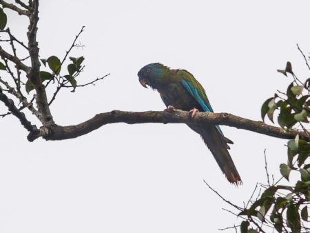 Blue-headed Macaw (Primolius couloni)