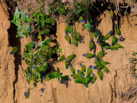 Blue-headed Parrot (Pionus menstruus)