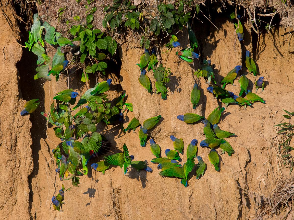 Blue-headed Parrots