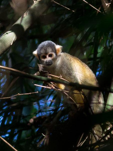 Bolivian Squirrel Monkey (Saimiri boliviensis boliviensis)