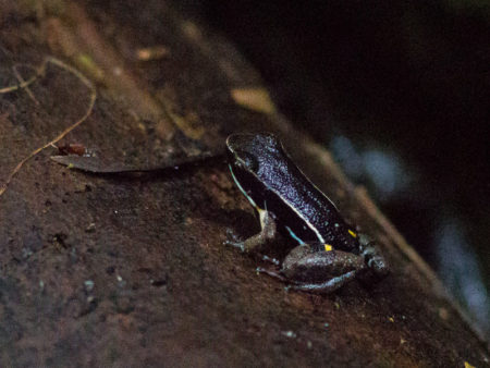Brilliant-Thighed Poison Frog (Allobates femoralis)